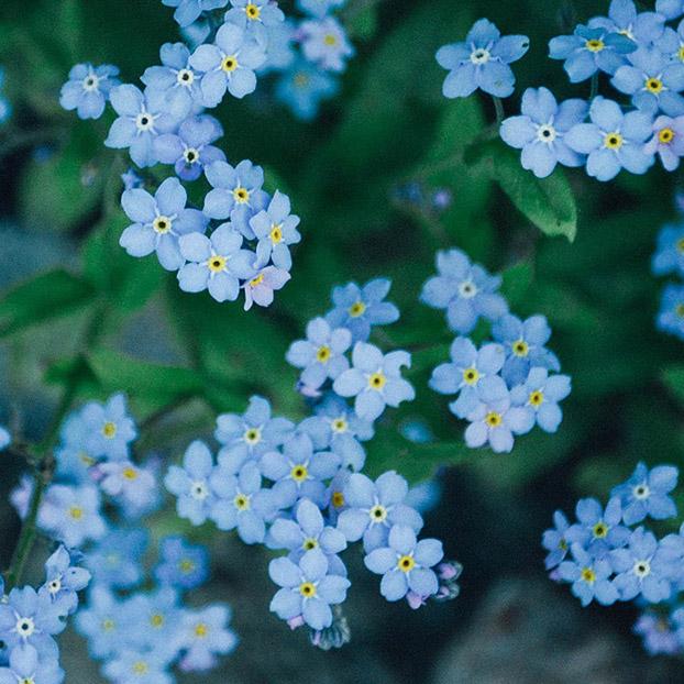 Blaue Blumen.